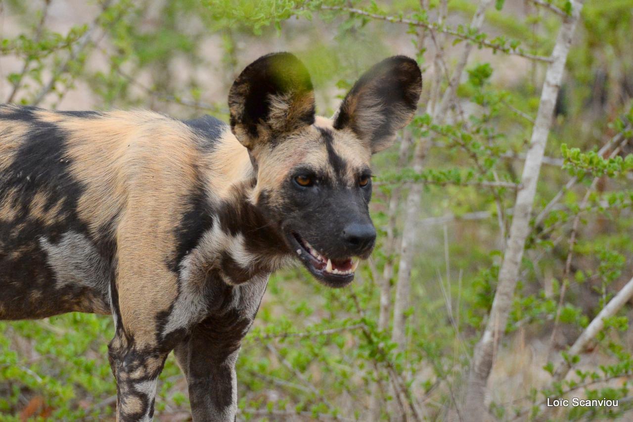 Lycaon/African Wild dog (30)