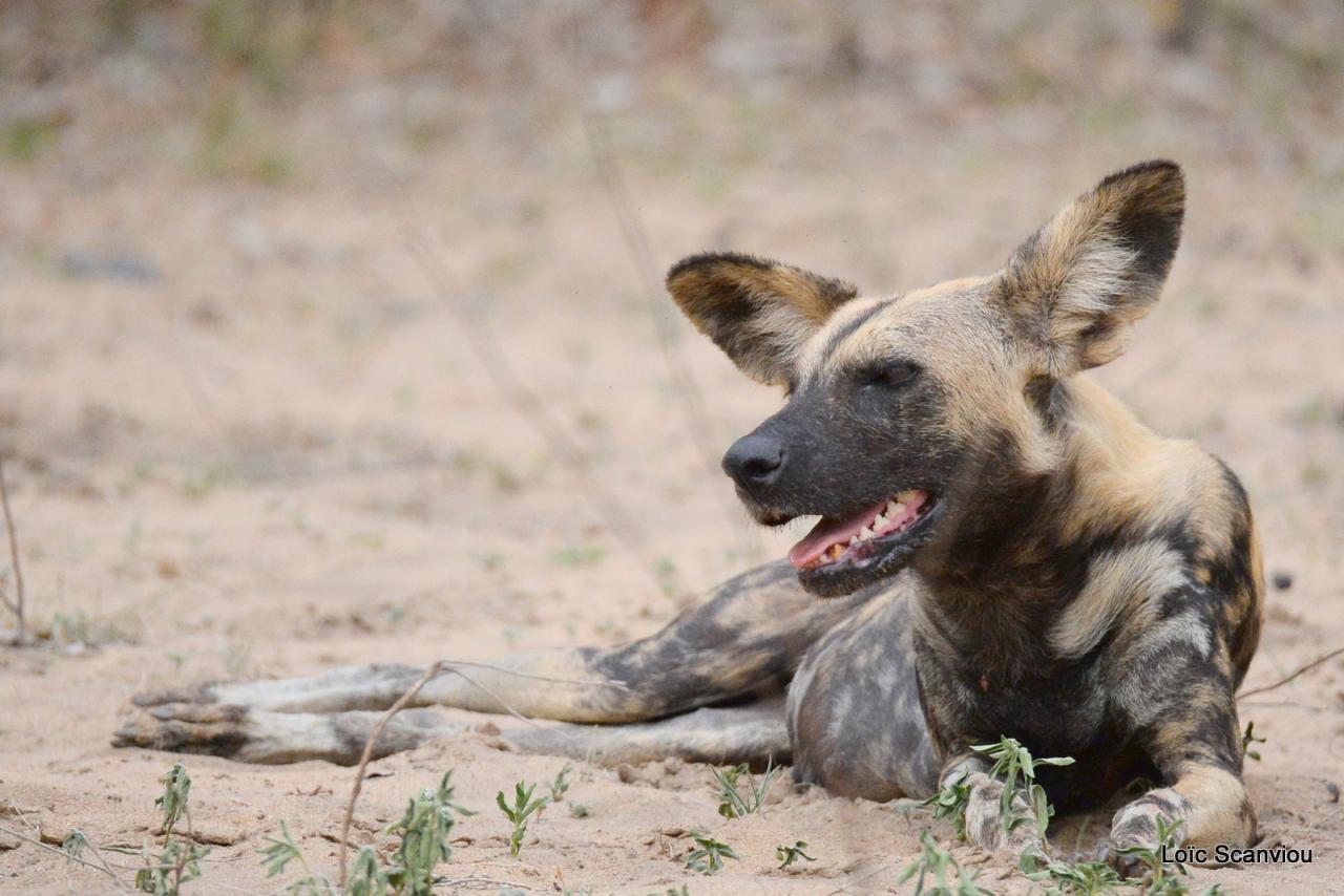 Lycaon/African Wild dog (31)