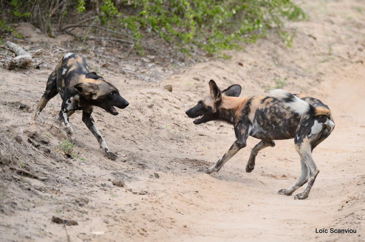 Lycaon/African Wild dog (32)