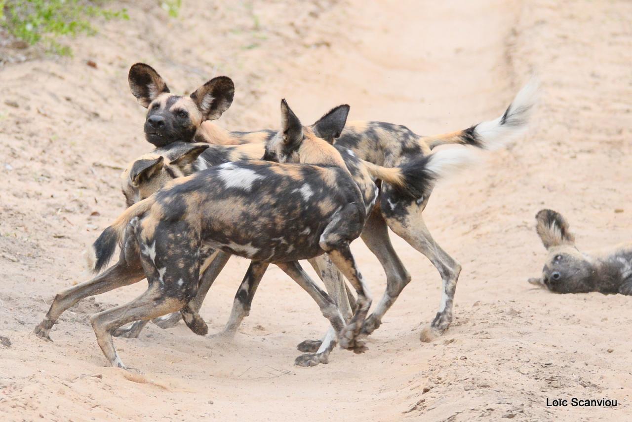 Lycaon/African Wild dog (33)