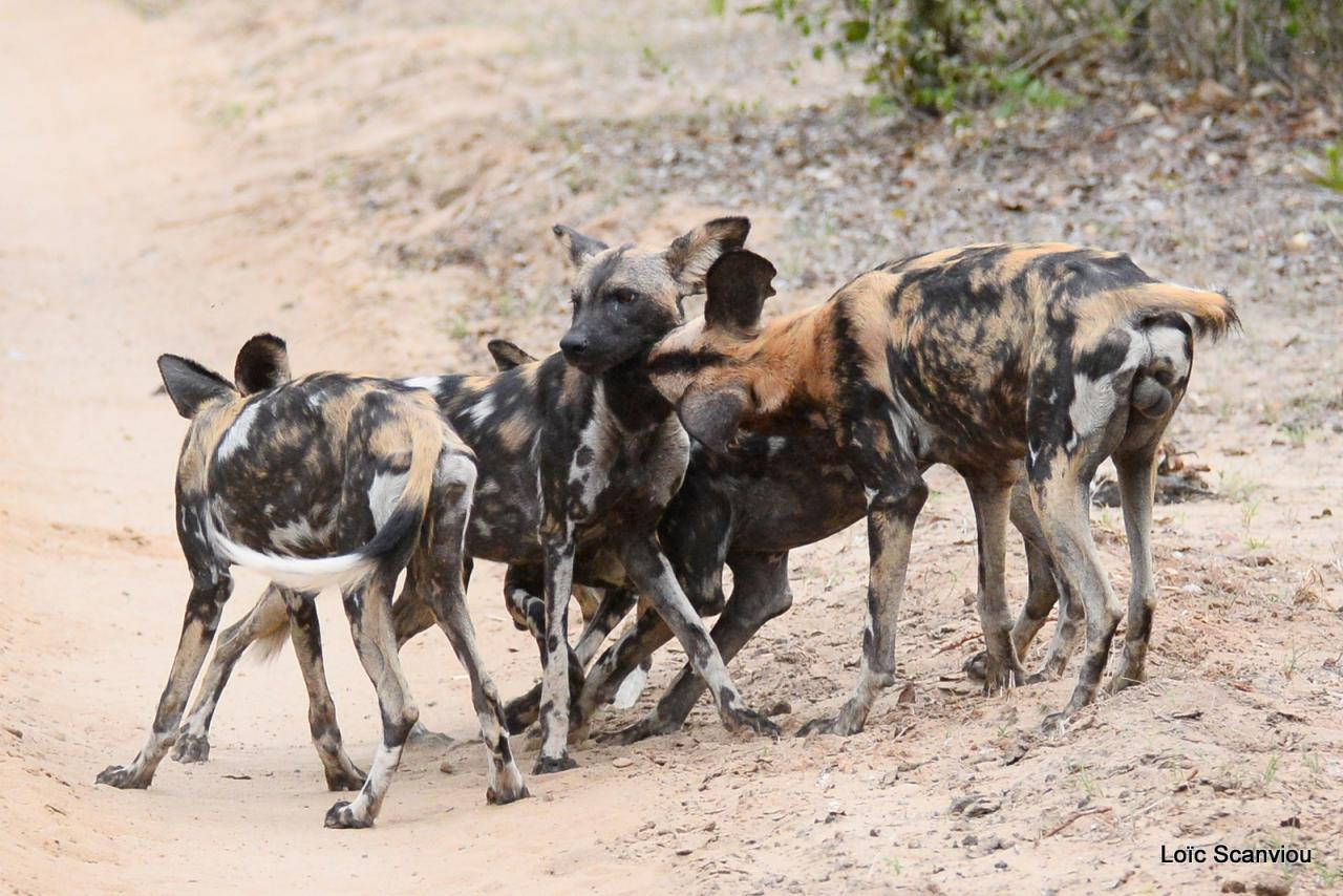Lycaons/ Wild Painted Dogs (40)