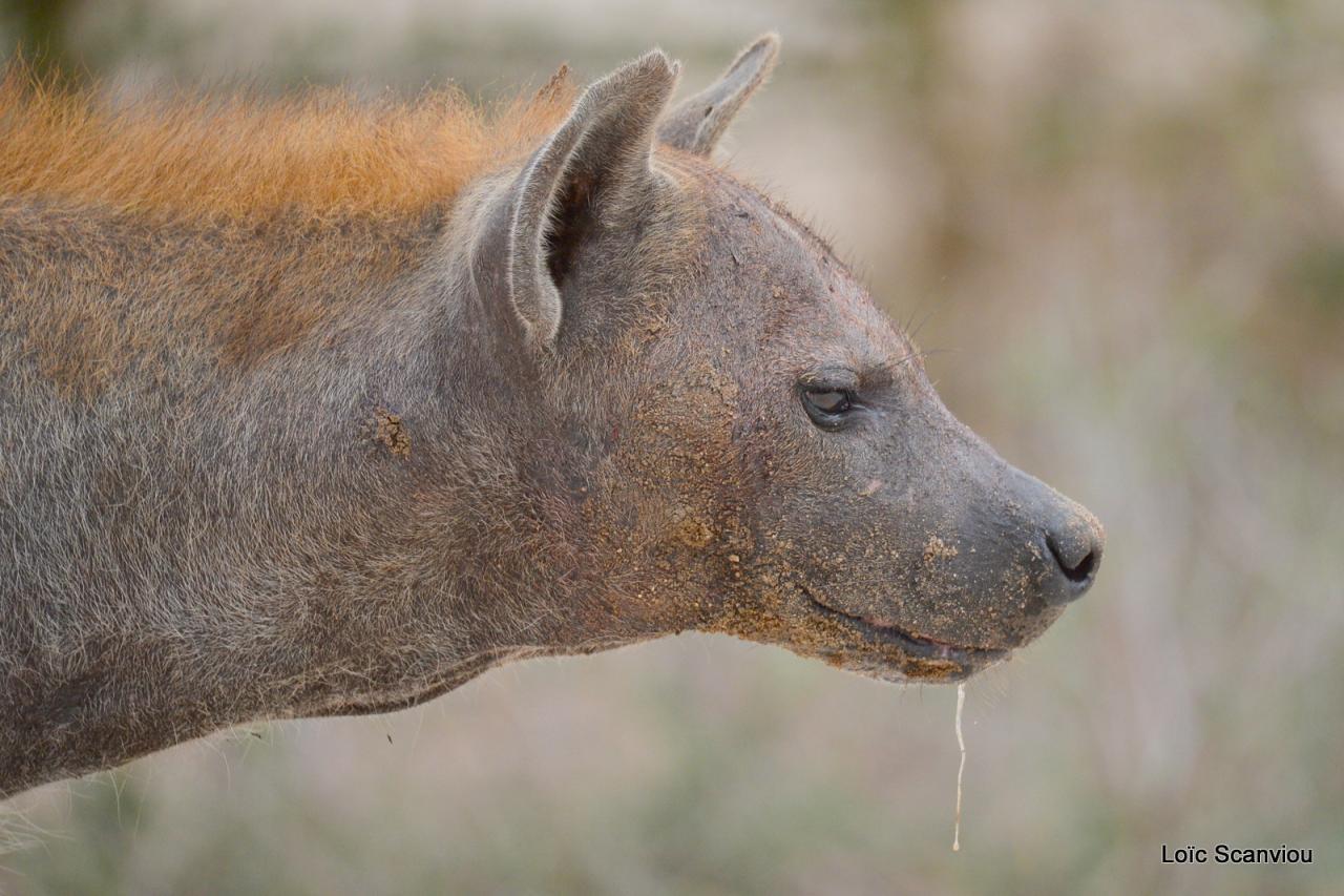 Hyène tachetée/Spotted Hyena (7)