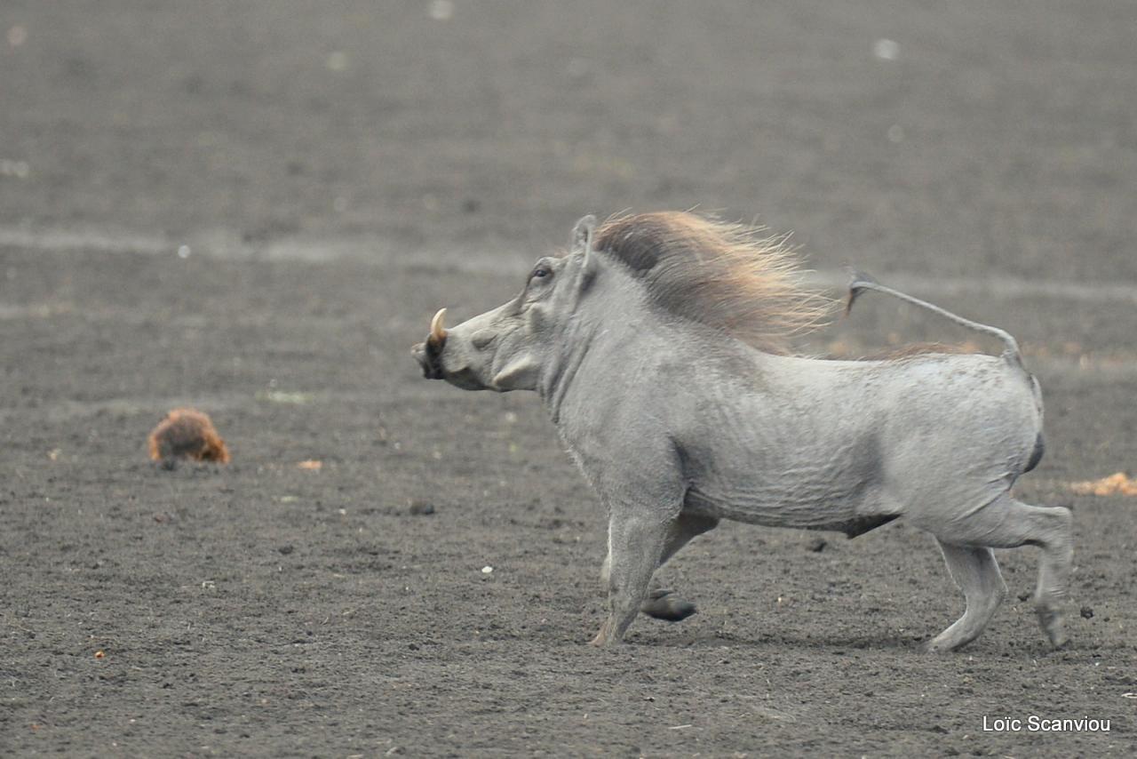 Phacochère/Warthog (5)