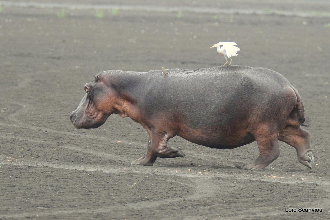 Hippopotame/Hippopotamus (18)
