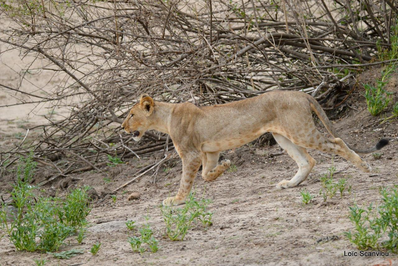 Lion (25)