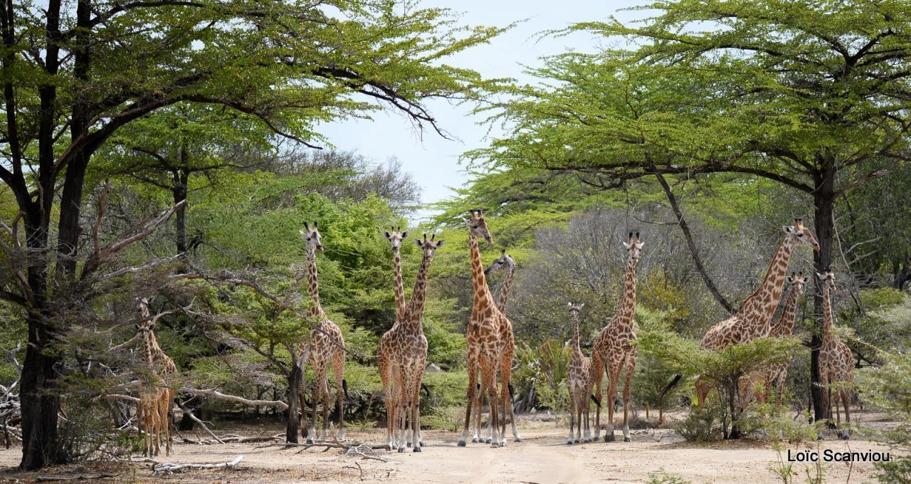 Girafe masaï/Masai Giraffe (33)