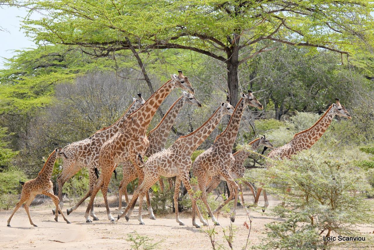 Girafe masaï/Masai Giraffe (34)