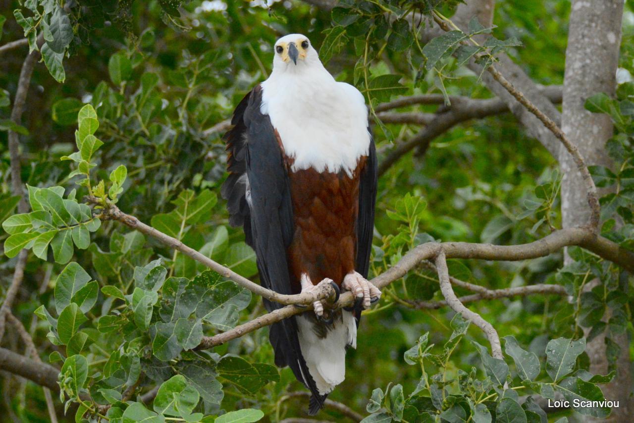 Aigle vocifère/African Fish Eagle (9)