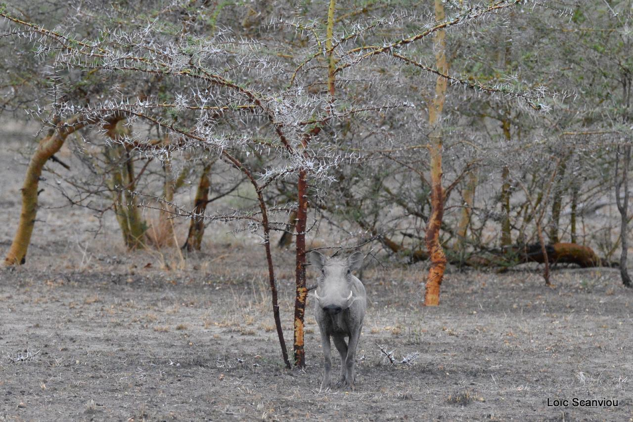 Phacochère/Warthog (6)
