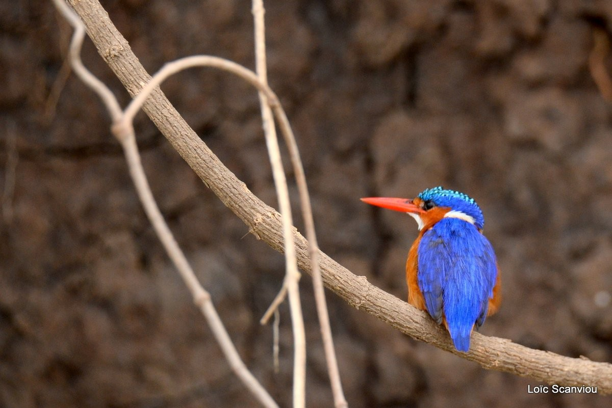 Martin-pêcheur huppé/Malachite Kingfisher (1)