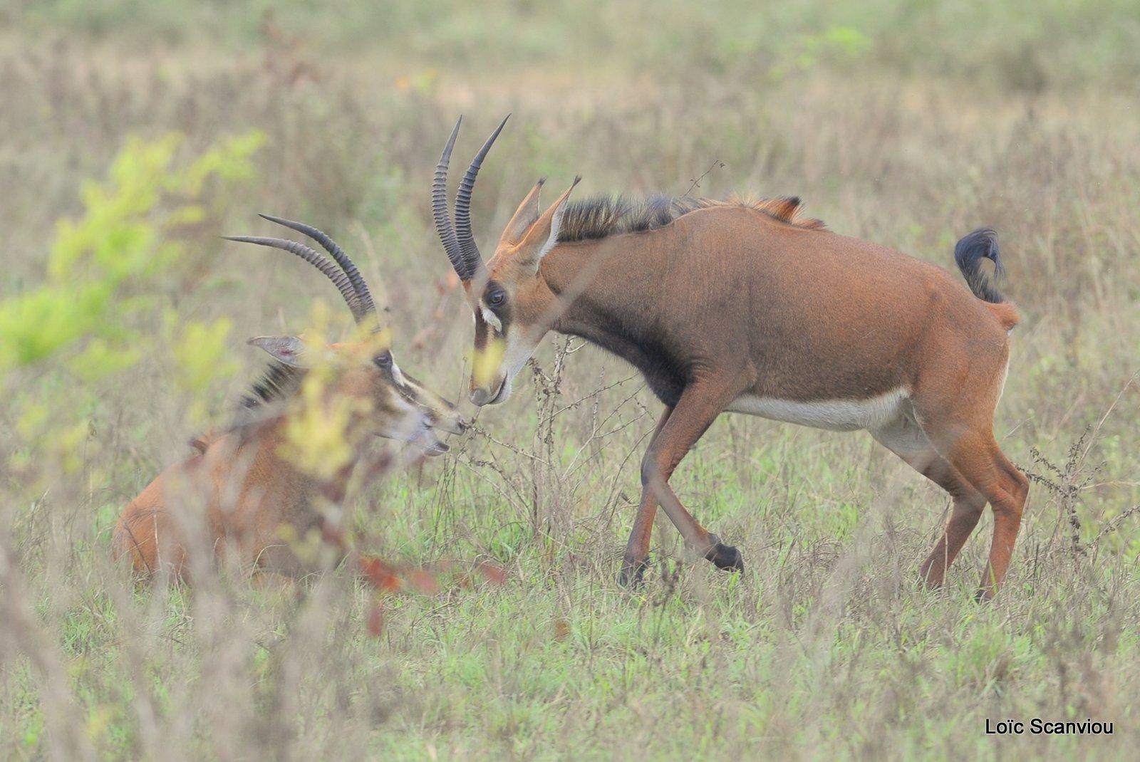 Hippotrague noir/Sable Antelope (2)