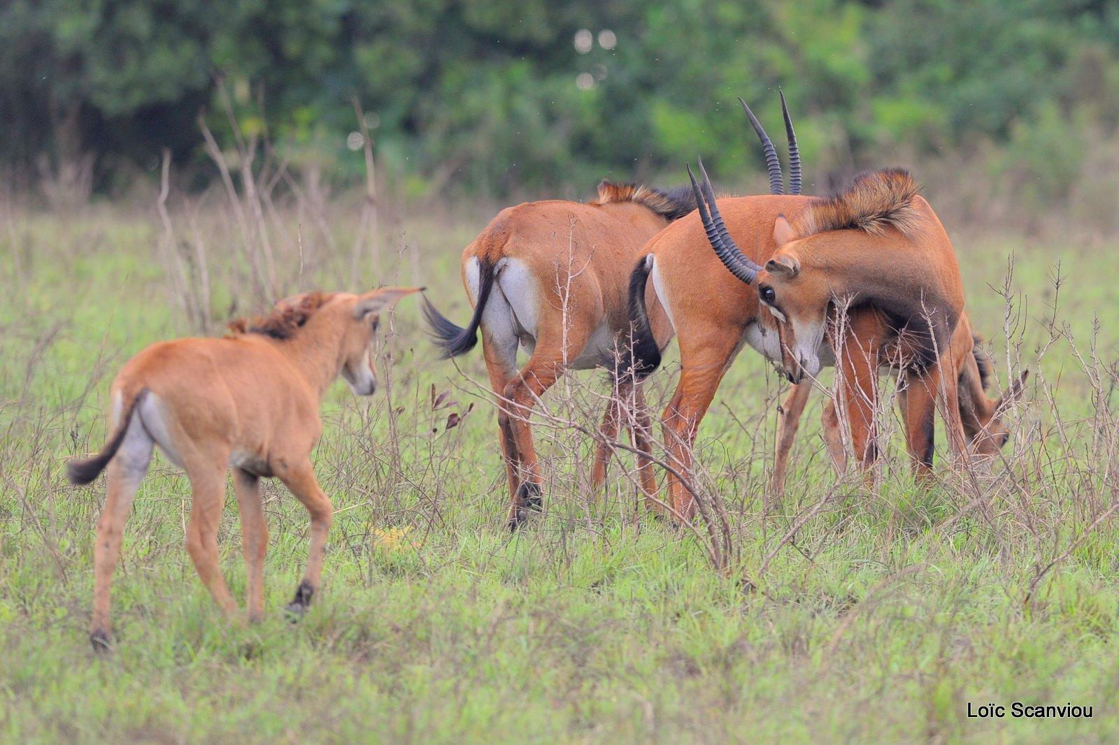 Hippotrague noir/Sable Antelope (4)