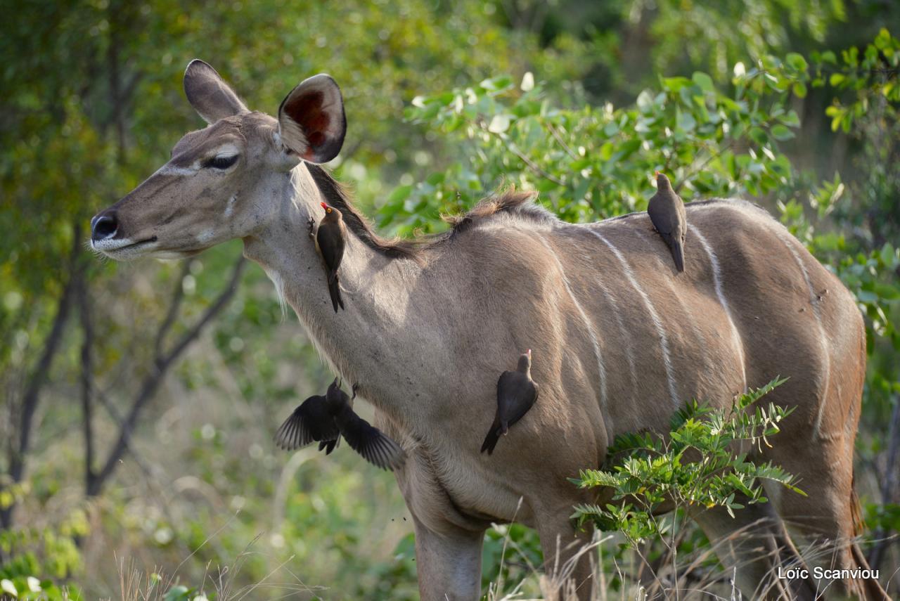 Koudou/Kudu (1)