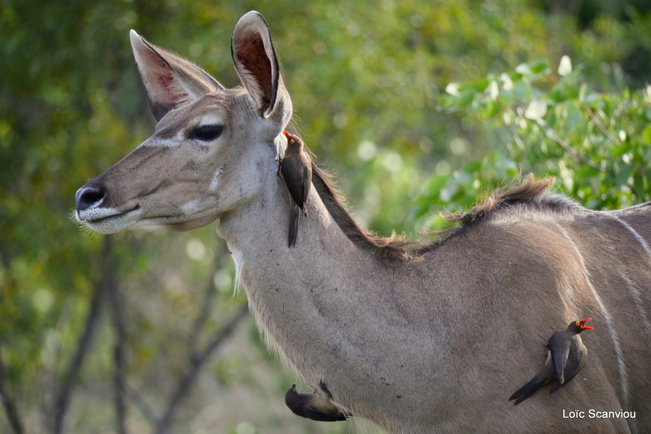Koudou/Kudu (2)