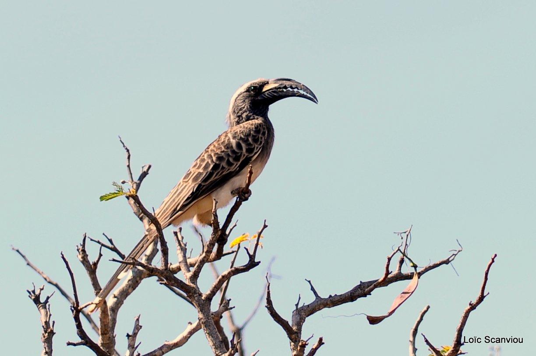 Calao à bec noir/African Grey Hornbill (1)