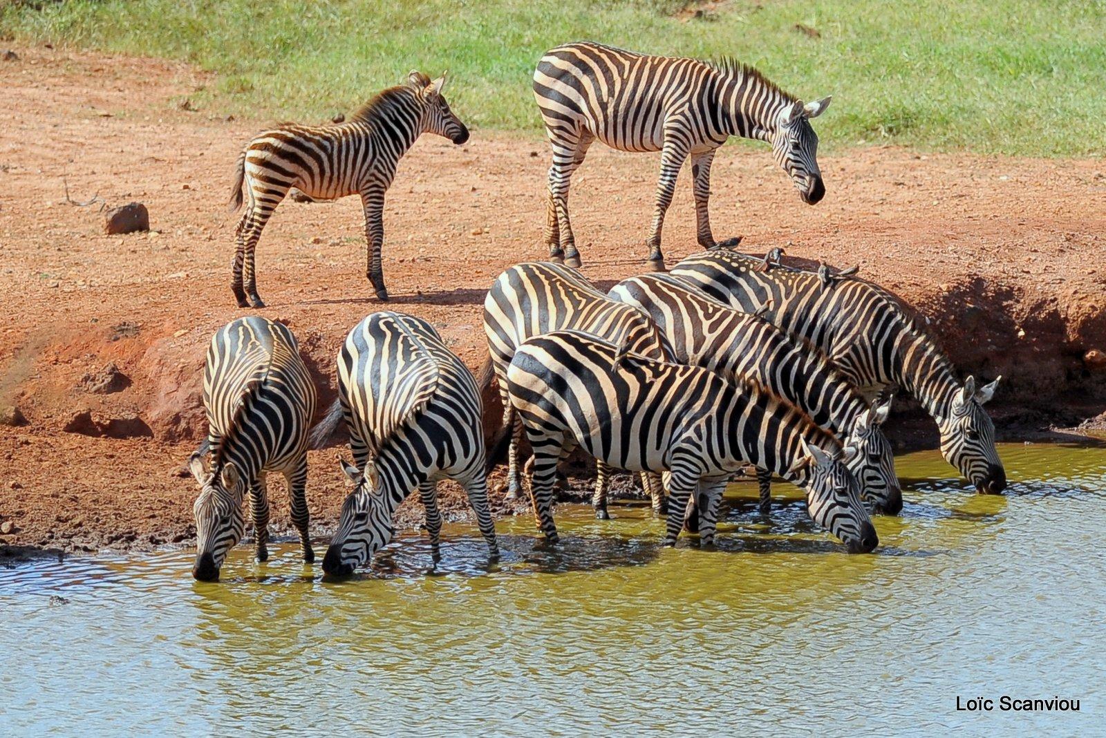 Zèbre/Zebra (2)