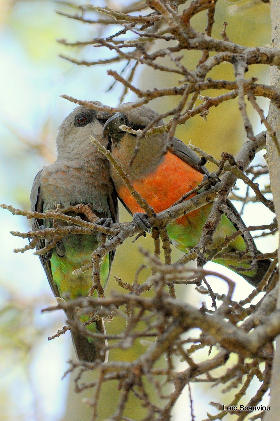 Perroquet à ventre rouge/African Orange-bellied Parrot (1)