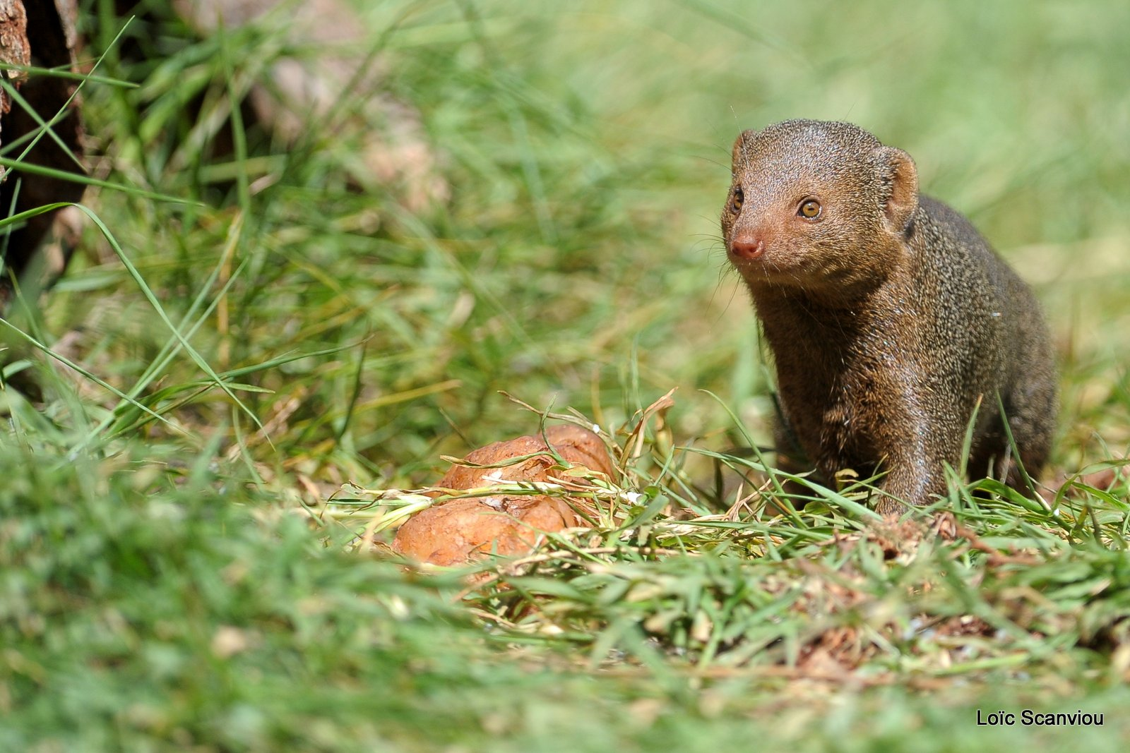 Mangouste/Mongoose (4)