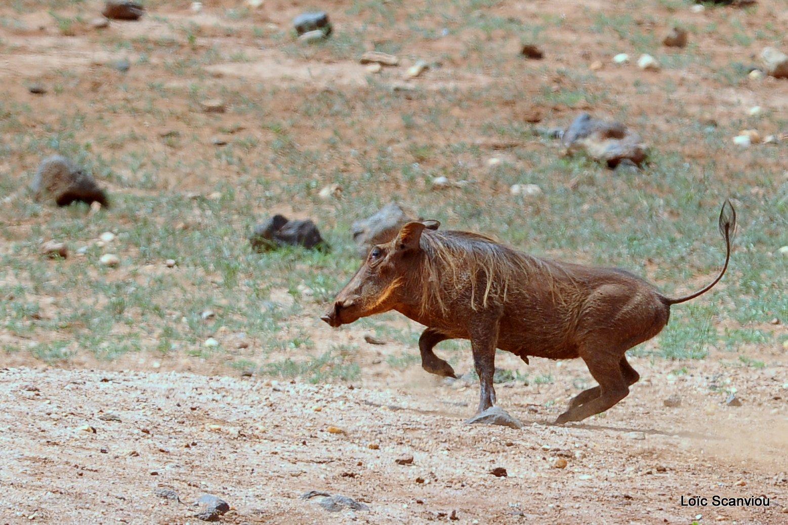 Phacochère/Warthog (4)