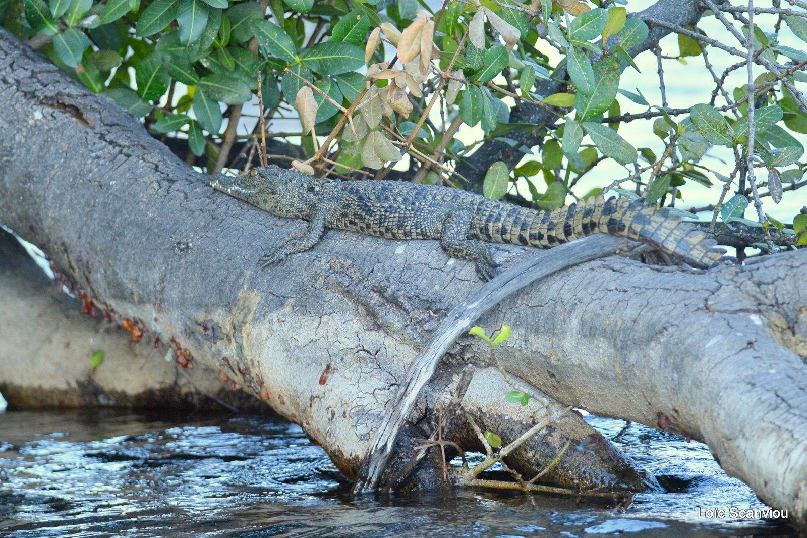 Crocodile du Nil/Nile Crocodile (4)