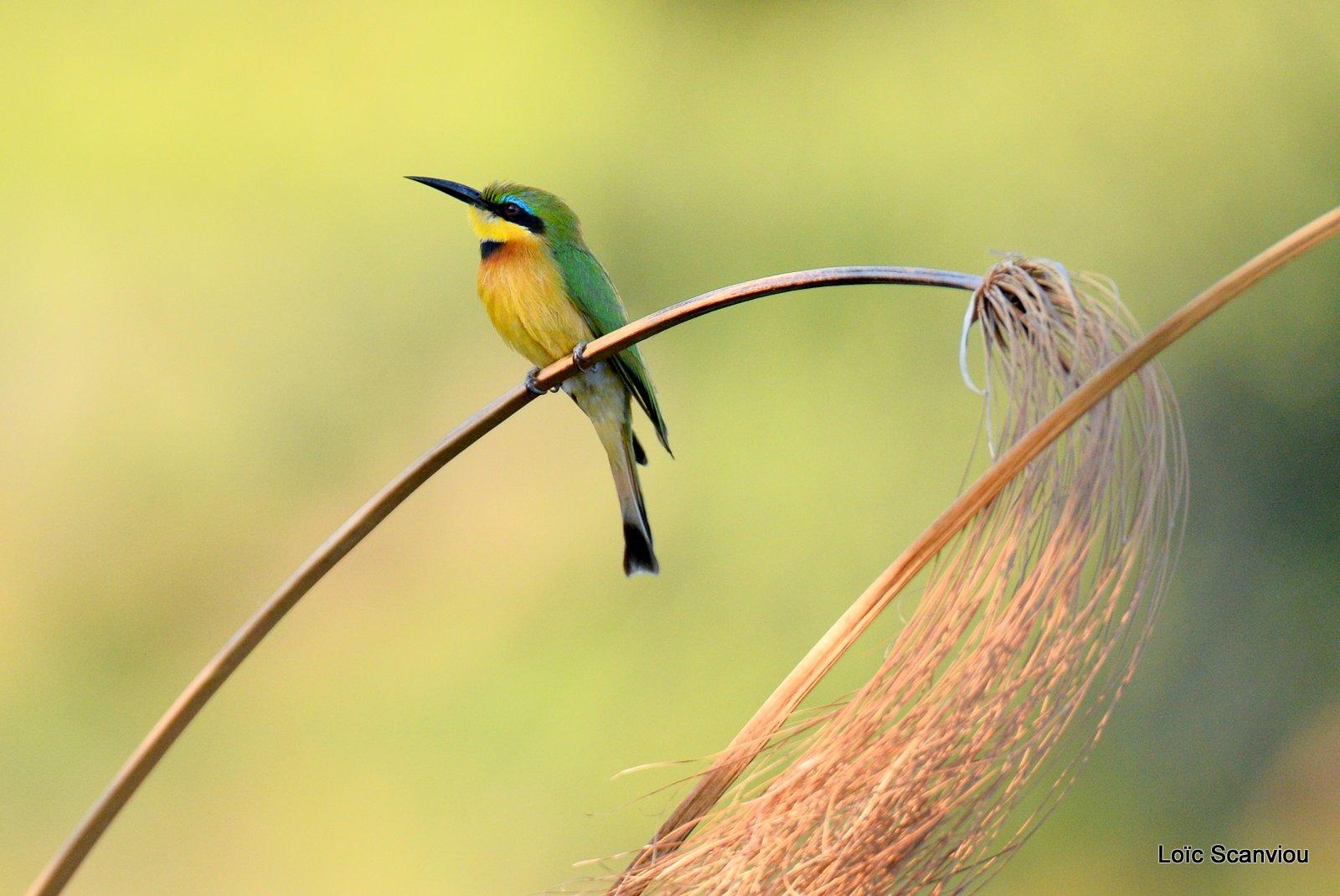 Guêpier nain/Little Bee-eater (1)