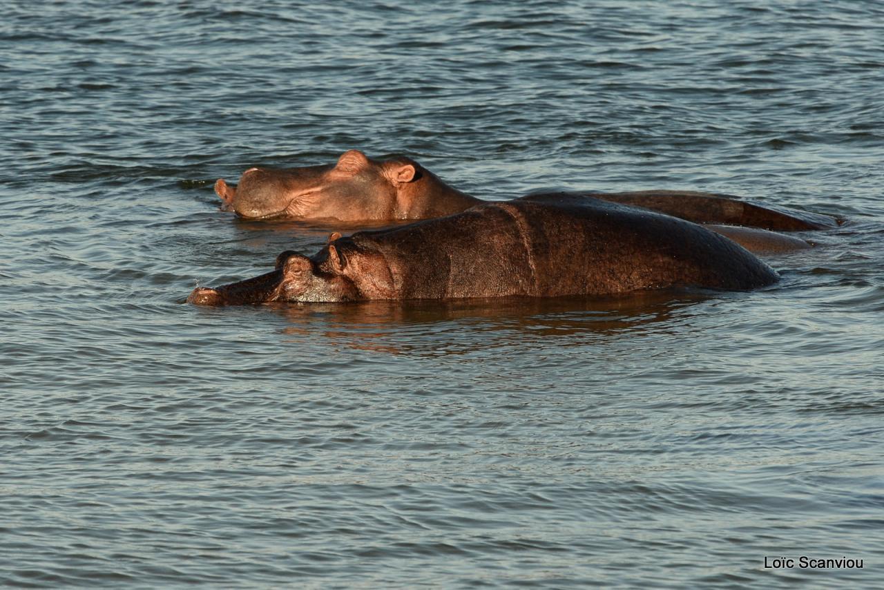 Hippopotame/Hippopotamus (4)