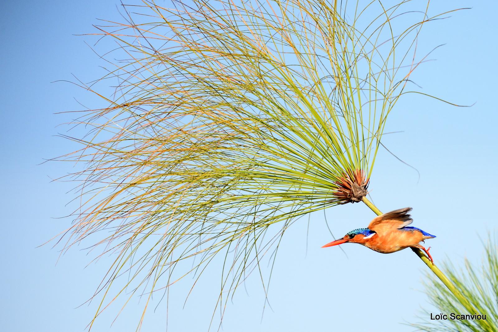 Martin-pêcheur huppé/Malachite Kingfisher (2)