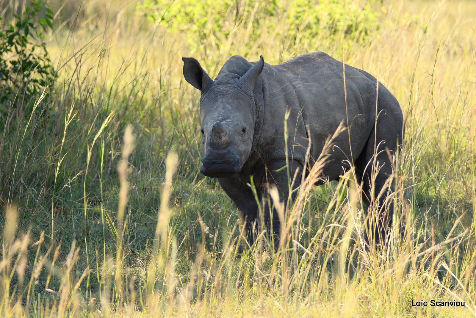 Rhinocéros blanc/White Rhinoceros (2)
