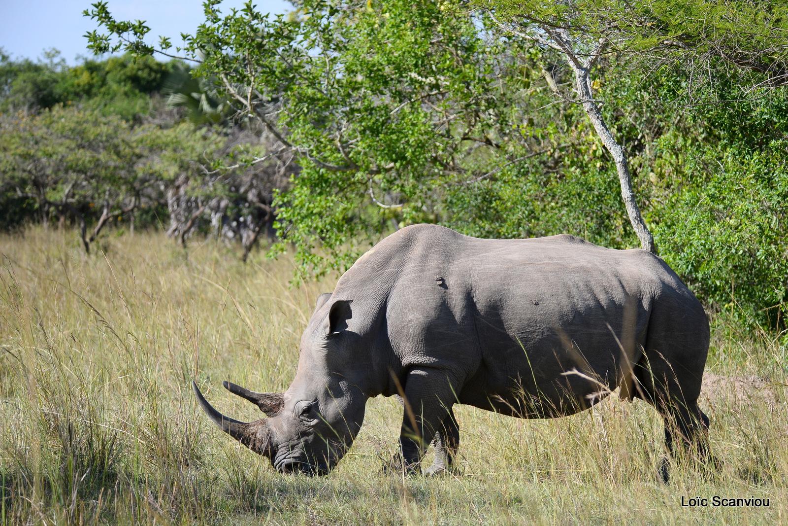 Rhinocéros blanc/White Rhinoceros (3)