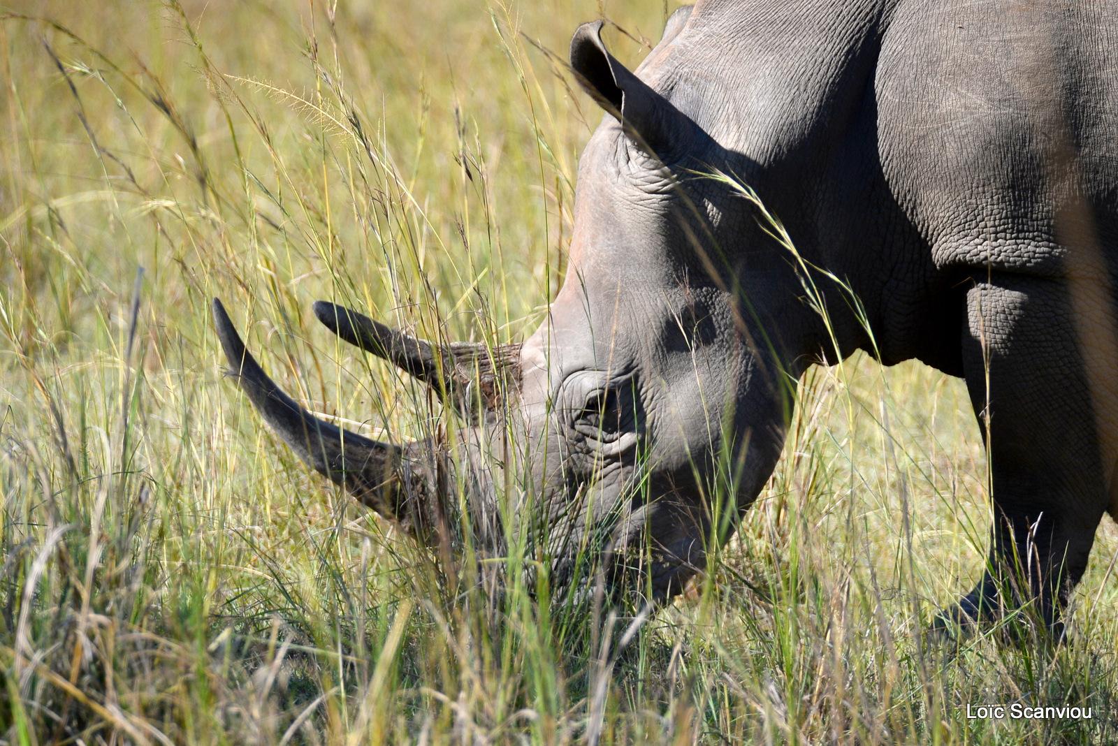 Rhinocéros blanc/White Rhinoceros (4)